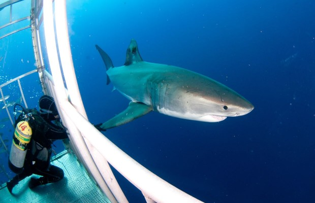 Close call in the shark cage