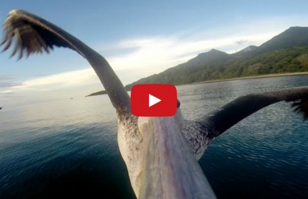 VIDEO: Pelican learns to fly
