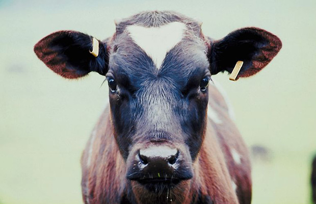 Mad cow disease - 10 scary diseases pets give people ... |Scary Cows Killing Someone